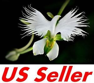 50 pcs rare white dove orchid seeds f12 japanese habenaria radiata 50 pcs rare white dove orchid seeds f12 japanese habenaria radiata egret orchid mightylinksfo Image collections
