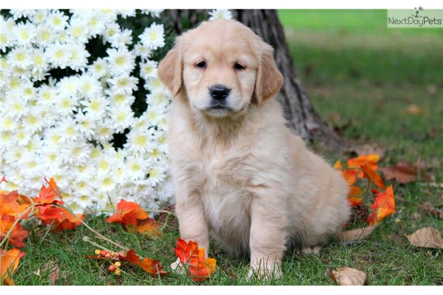 Pin By Ebony Rose On Dogs For Sale Puppies Puppy Finder Puppy
