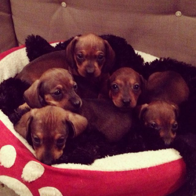 Dachshund Puppies Dachshund Puppies Dachshund Puppies For