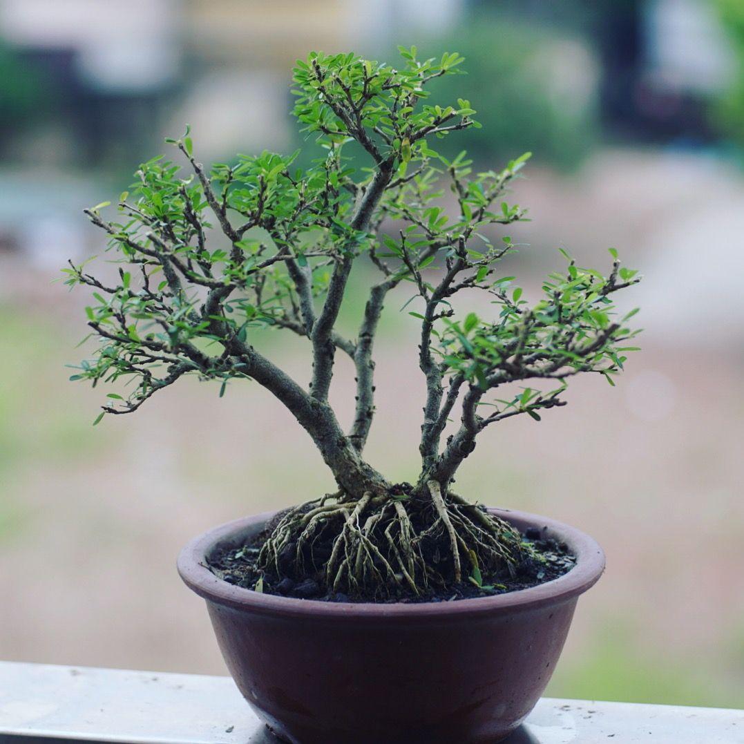 Mini Forest Bonsai Bonsai Garden Plants