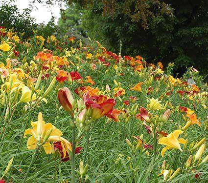 All perennials by genus white flower farm garden pinterest all perennials by genus white flower farm mightylinksfo