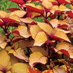 orange coleus | Annuals for Sun to Part Shade - Orange King Coleus