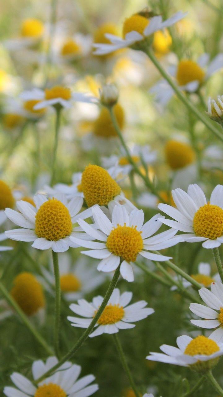 720x1280 Wallpaper daisies, flowers, summer, field mobile