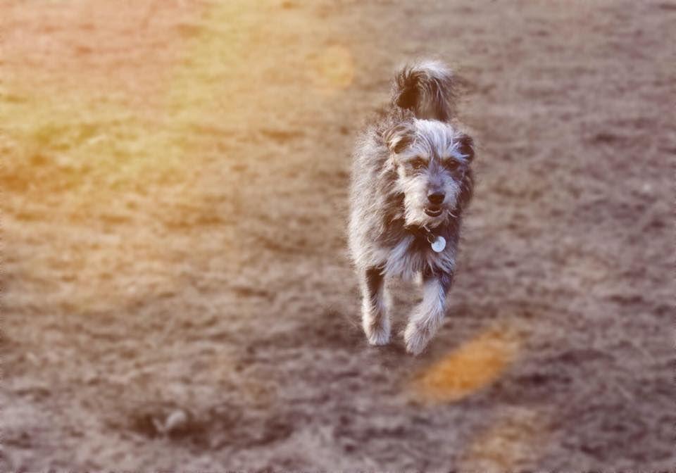 Loui Terrier Mischling Pawshake Hamburg Terrier Mischling Terrier