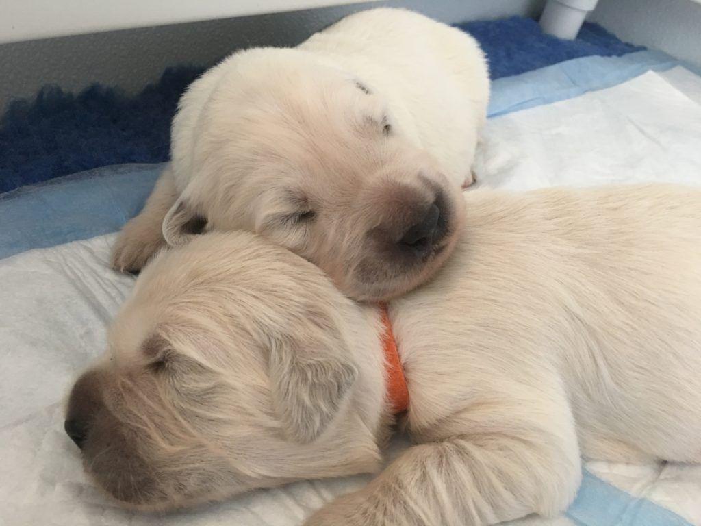 White Golden Cream Retriever Puppy Breeder In Palm Desert Ca Puppy Adoption Golden Retriever Puppy Puppies