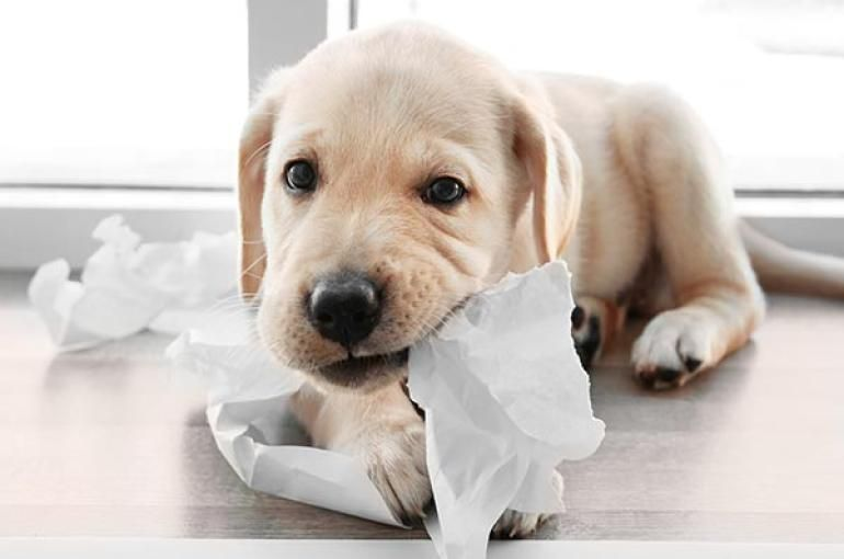 When Do Puppies Lose Their Teeth Puppy Teething Dog Remedies