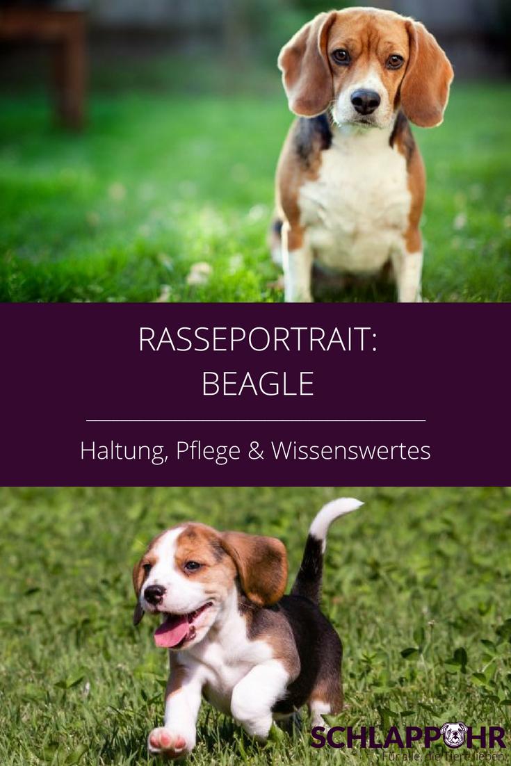 Wer Besonders Freundliche Und Frohliche Hunde Schatzt Wird Mit Einem Beagle Seine Freude Haben Denn Die Aufgeweckten Kl Hunderassen Hunde Rassen Hundehaltung