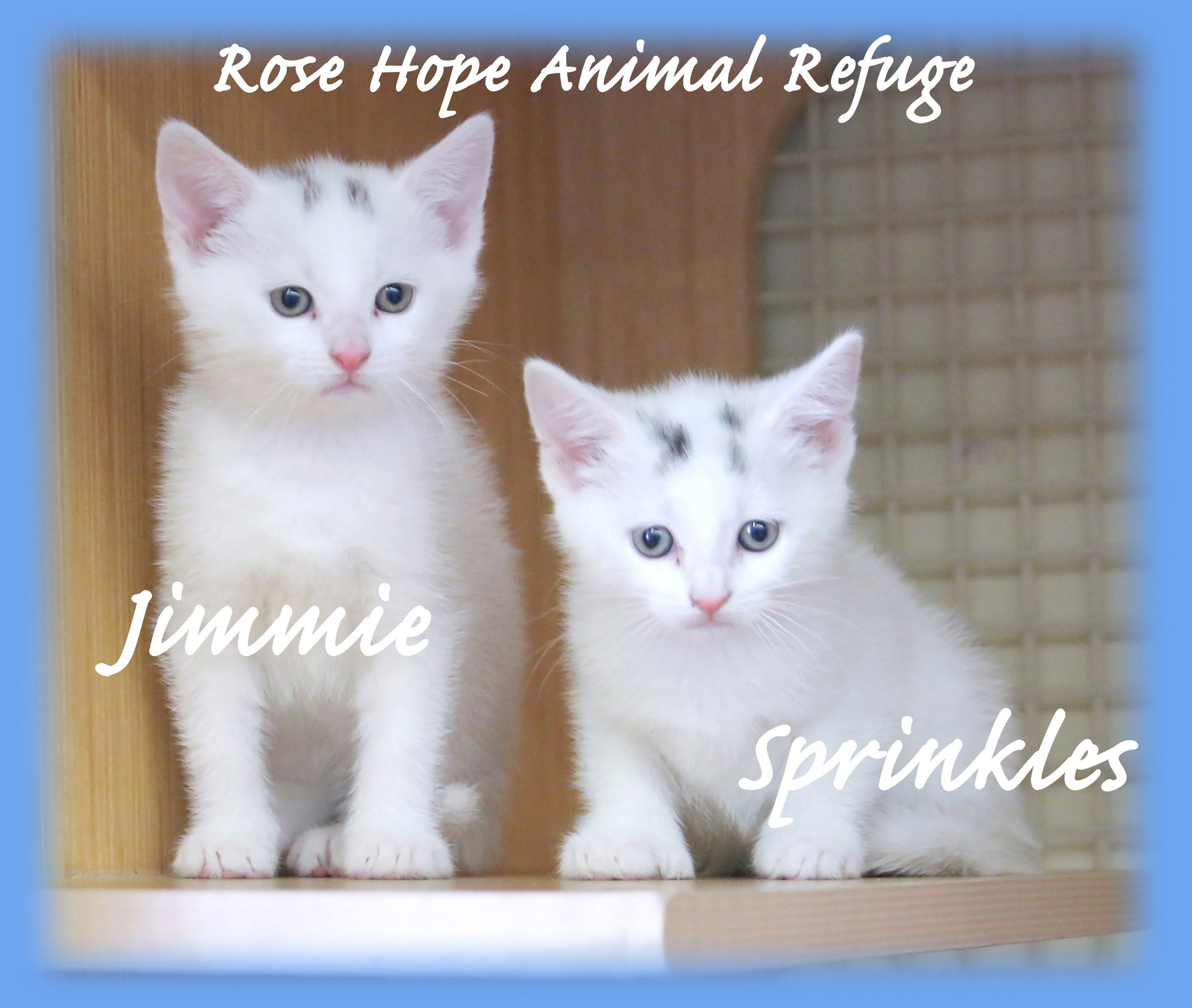 Adopt Sprinkles Jimmie On Cats Adoption Animals