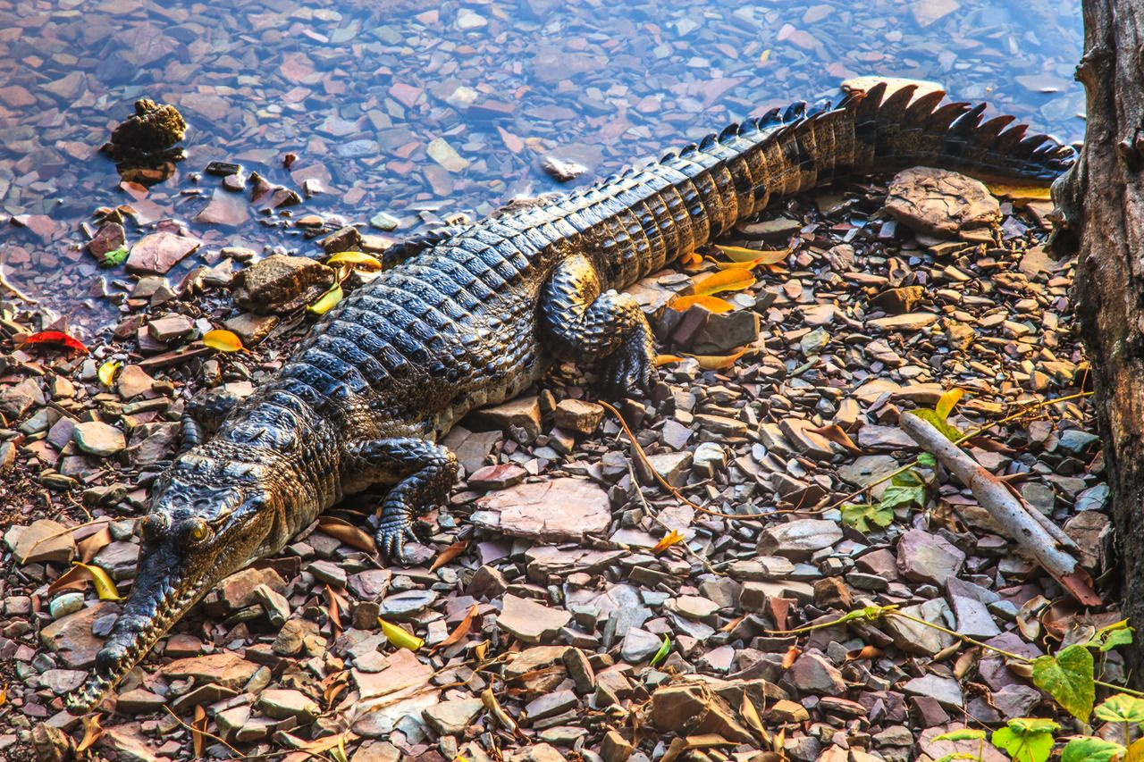 Danish Tourist BodySlams Aussie Crocodile, Gets Bitten