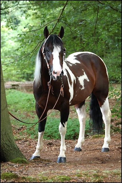 American Paint Horse stallion Commander Riminic - Google Search