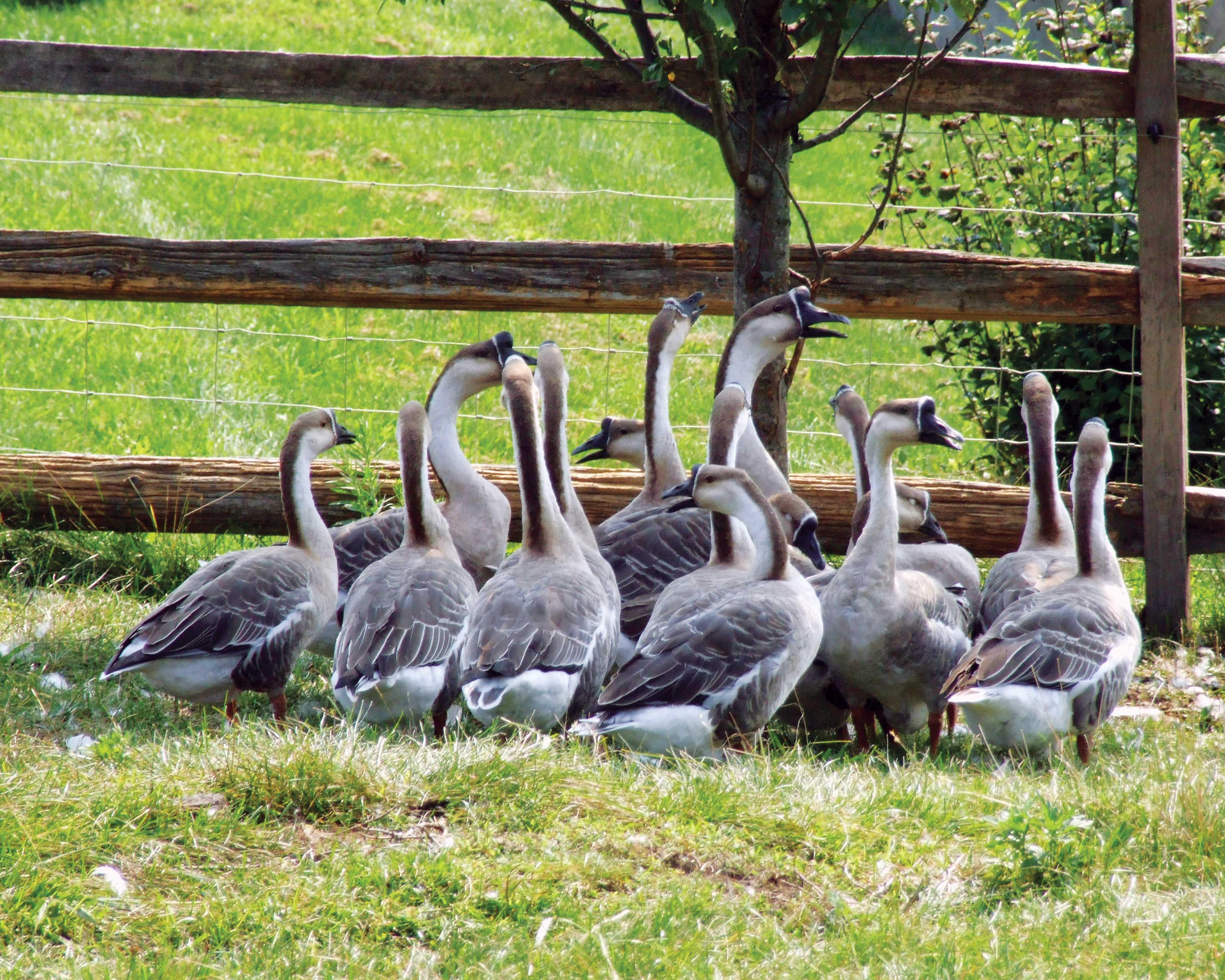 Breeding geese in the farm