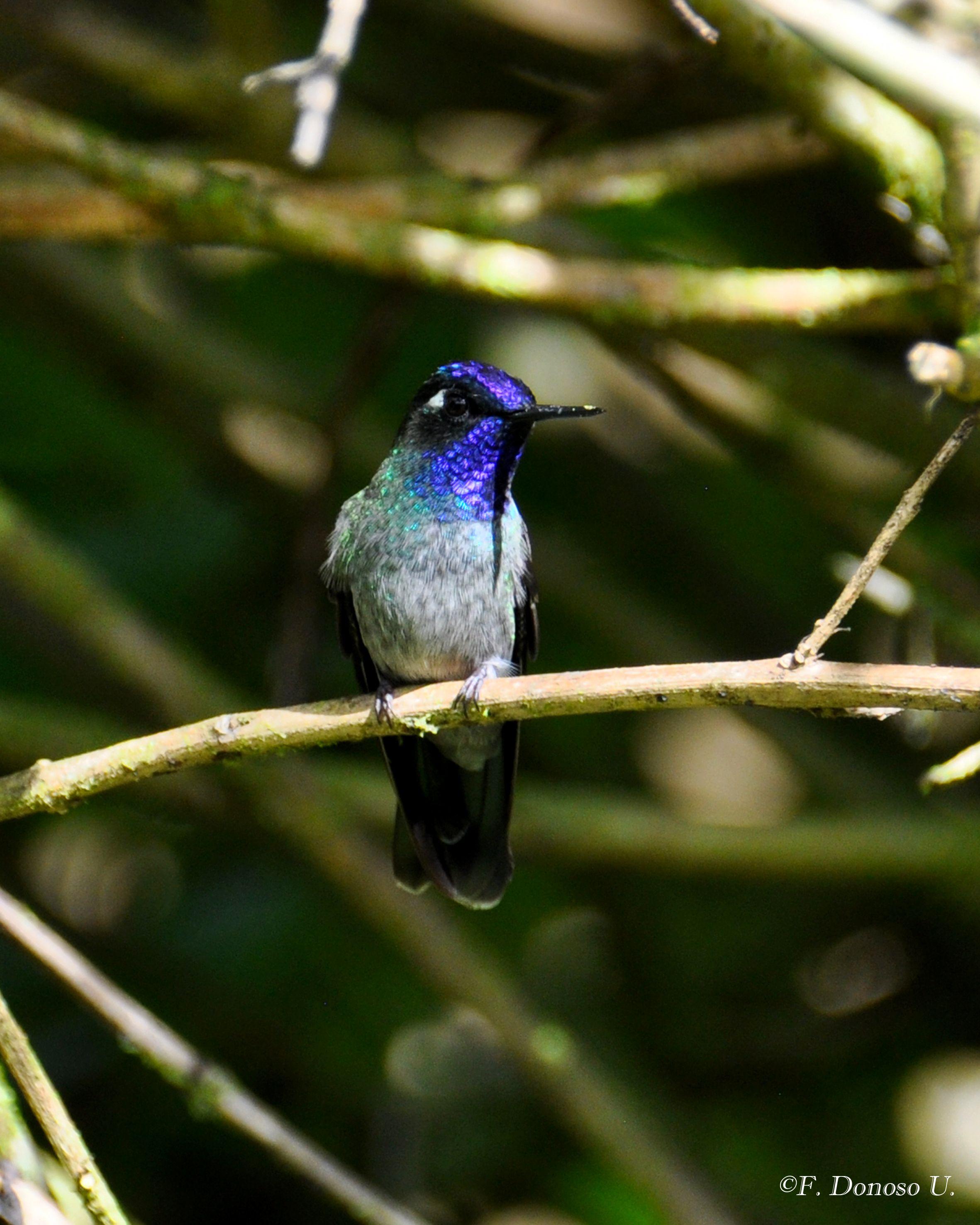Violet-headed hummingbird. Wild Sumaco