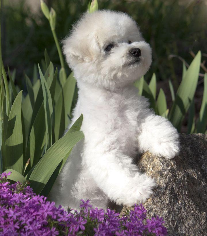 The Lowchen Dog Findgreatdogs Dogs Lion Dog Designer Dogs