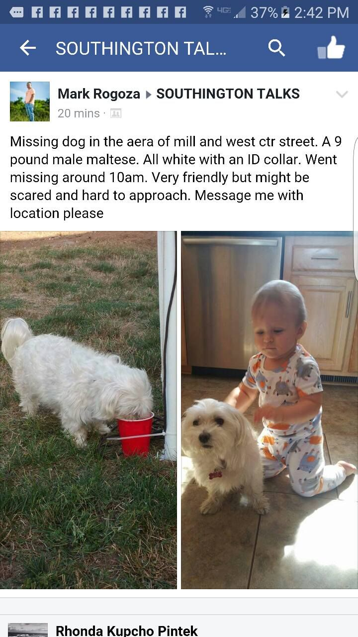 Ct Lost Pets White Male Maltese Missing In Southington Https Www