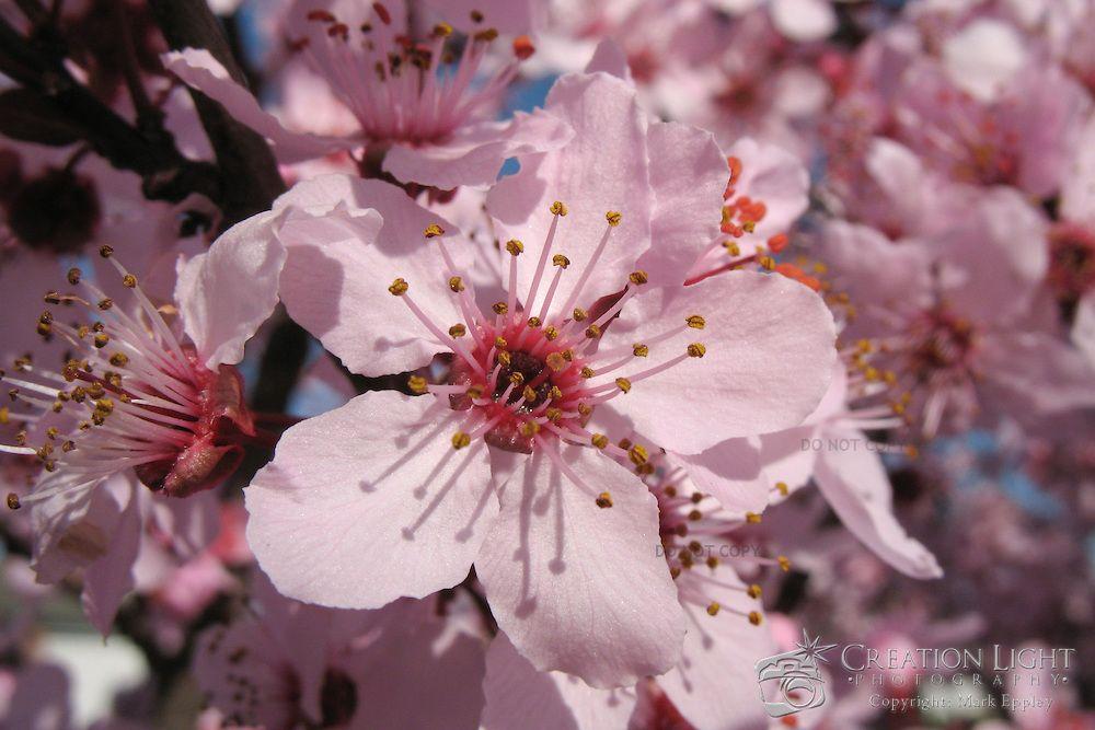 Flowering cherry tree landscaping pinterest cherry tree flowering cherry tree mightylinksfo