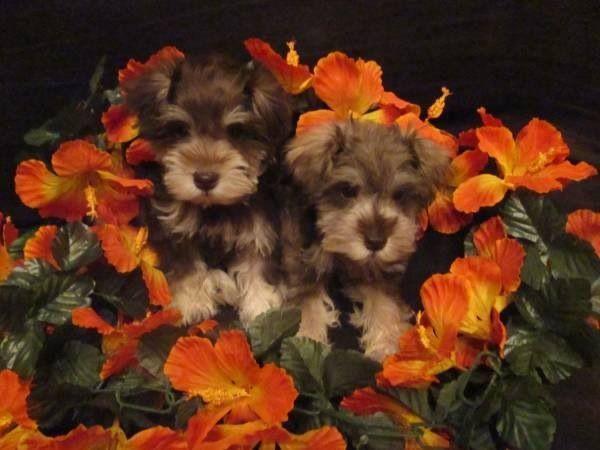 Miniature Schnauzer Puppies Schnauzer Puppies For Sale Bay Area