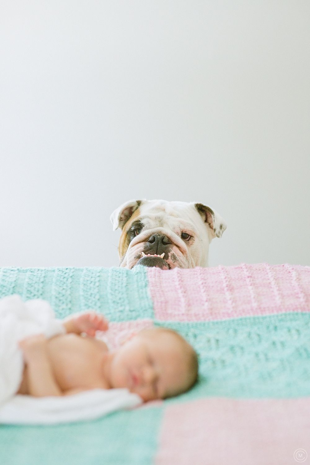 Newborn Baby Bulldogs : newborn, bulldogs, Sweet, Newborn, Session, English, Bulldog, Kids,, Lover,