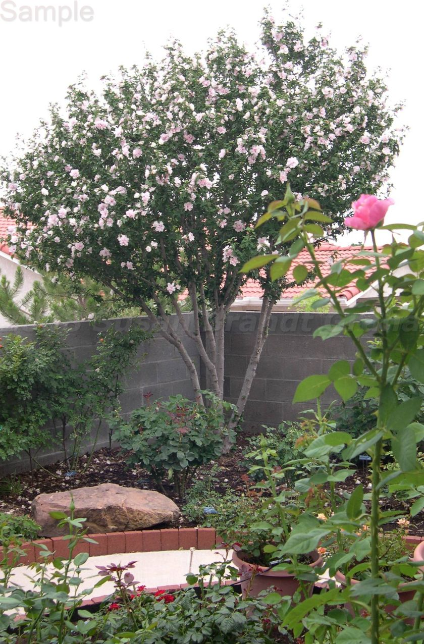 Rose Of Sharon Trained As A Small Tree Small Trees Small Trees