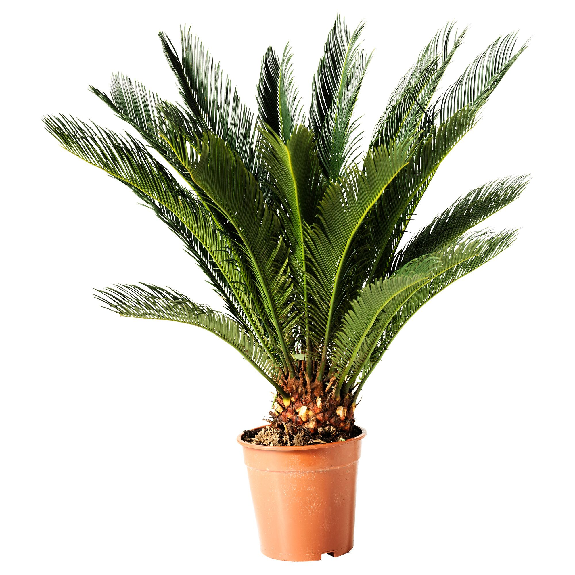 Ikea Palm Tree Cycas Revoluta Potted Plant Ikea Taman Plants Potted Plants