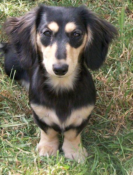 Miniature Longhair Dachshund Puppies Baby Dachshund Dachshund