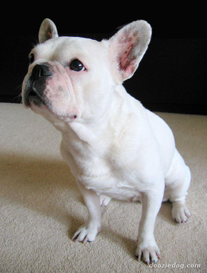 Http Www Dooziedog Com Dog Breeds Images French Bulldog Puppy