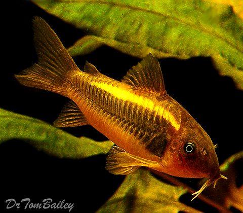 Corydoras Catfish Aquarium Fish Tropical Fish Fish