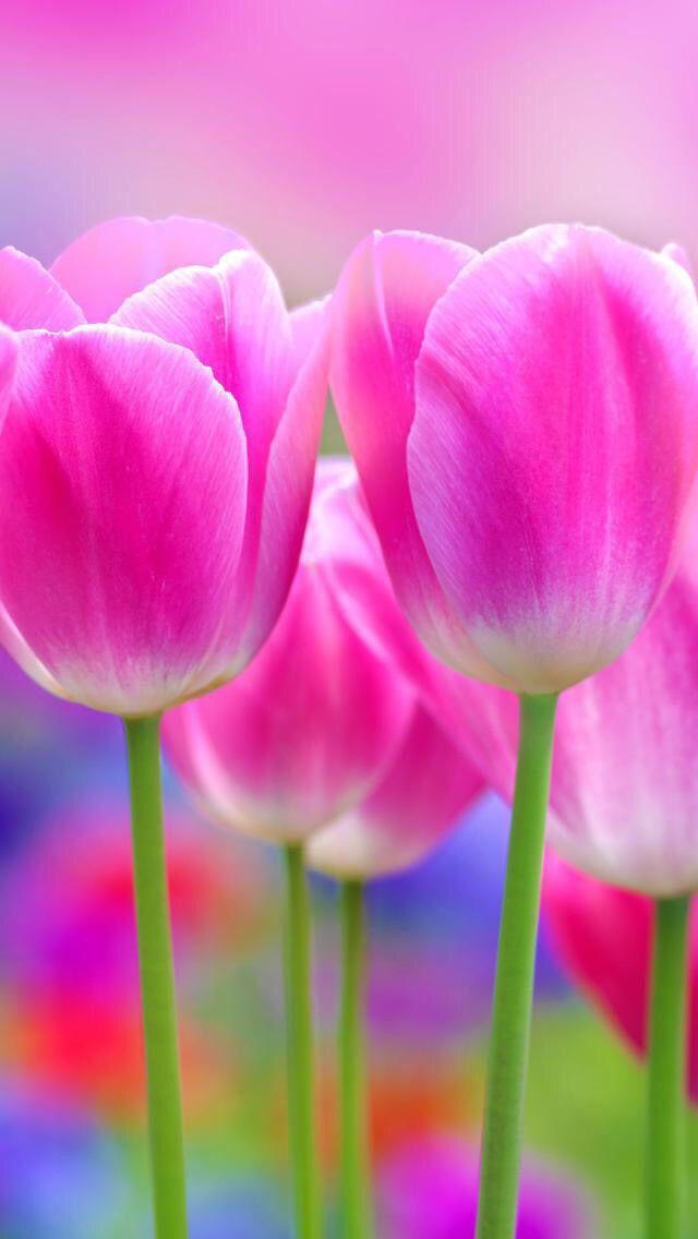 101 Fondos De Pantalla Lindos Para Tu Celular Blog Chulísimo Fondos De Pantalla Tulipanes Flores Bonitas Flores Tulipanes