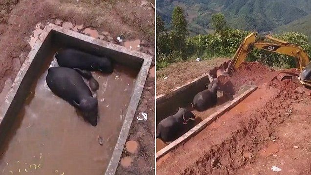 Three wild Asian elephants, two adults and a baby, were trapped in a reservoir in southwest China's Yunnan Province for more than two days before being rescued.