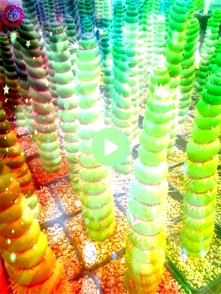 raros sementes de cactos sementes suculentas reais Espiral verde engraçado bonsai flor p  100 pcs raros sementes de cactos sementes suculentas reais Espiral verde...