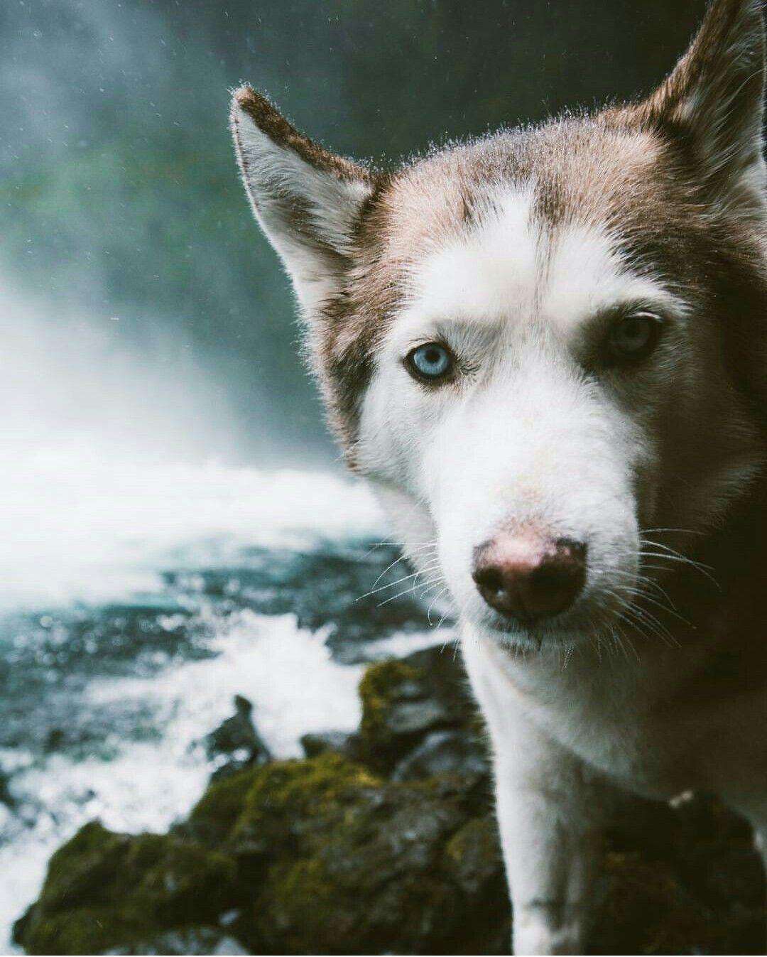 Pin By Makaila On Huskies Pinterest Husky Dogs And Pets