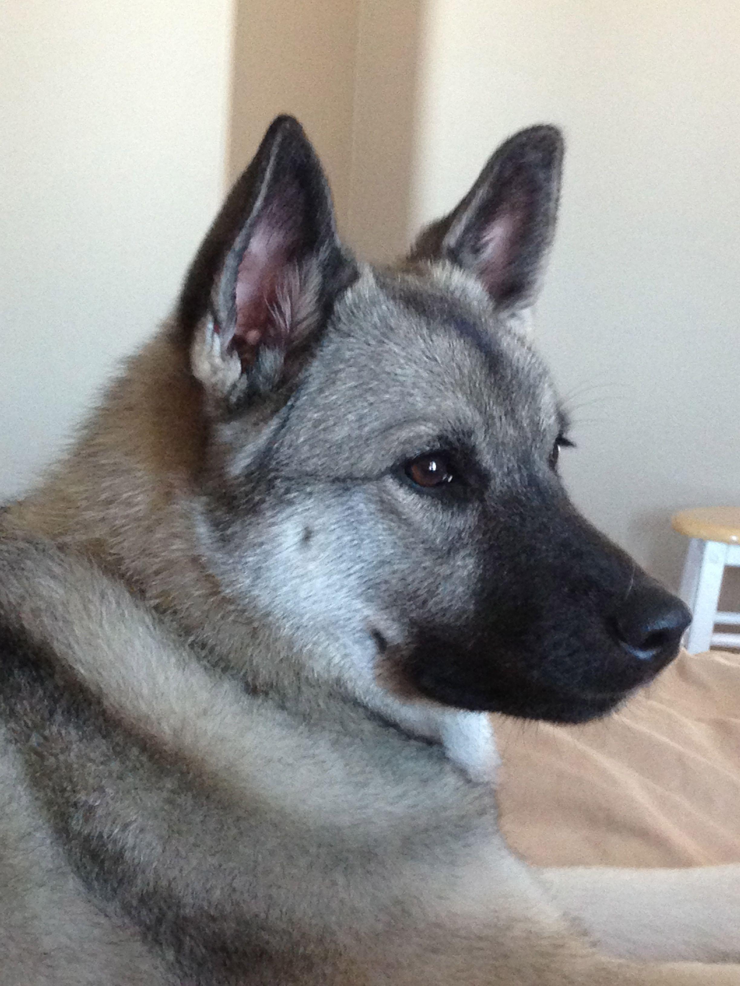 Vaila At 10 Months Our Norwegian Elkhound Norwegian Elkhound Big Dogs Dog Love