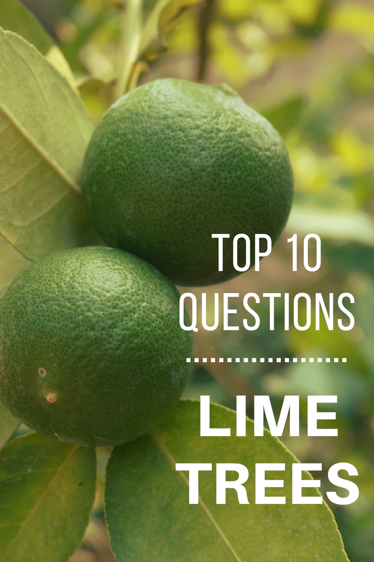 Top 10 Questions About Lime Trees Gardening Know How S Blog Lime Tree Persian Lime Tree Fruit Trees