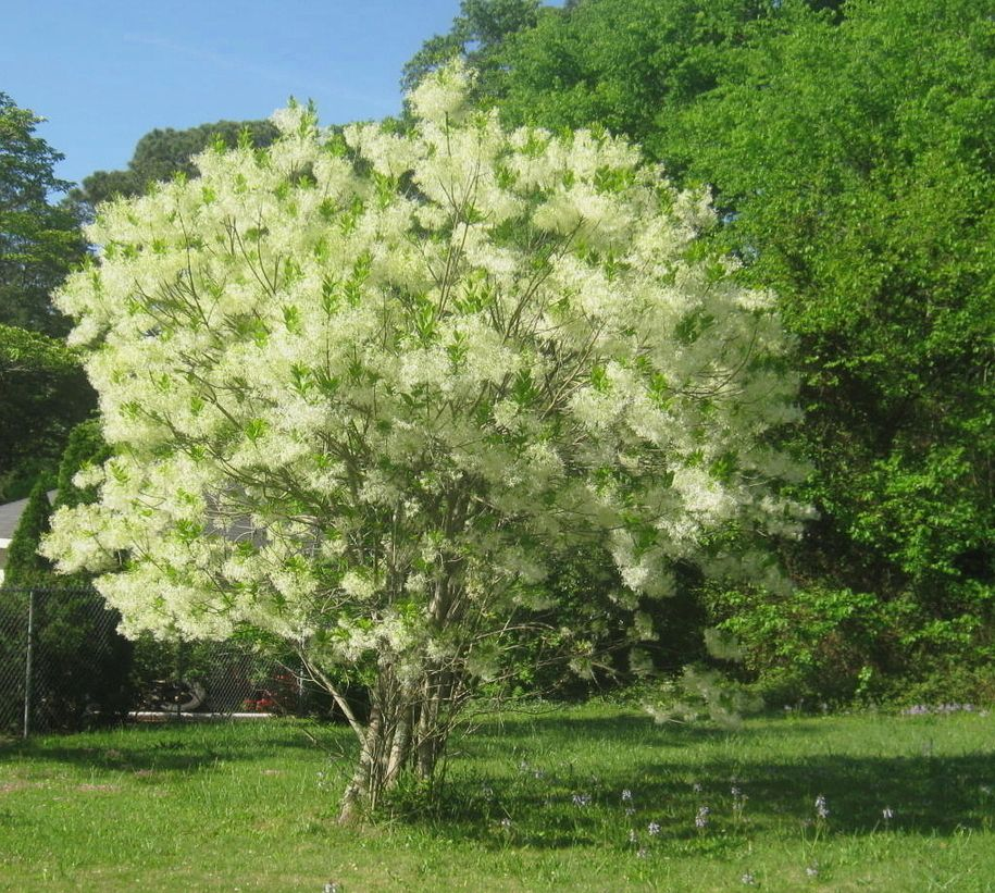 Flowers To Grow In Small Pots: Fringe Tree -- The Best Native Tree Nobody Grows