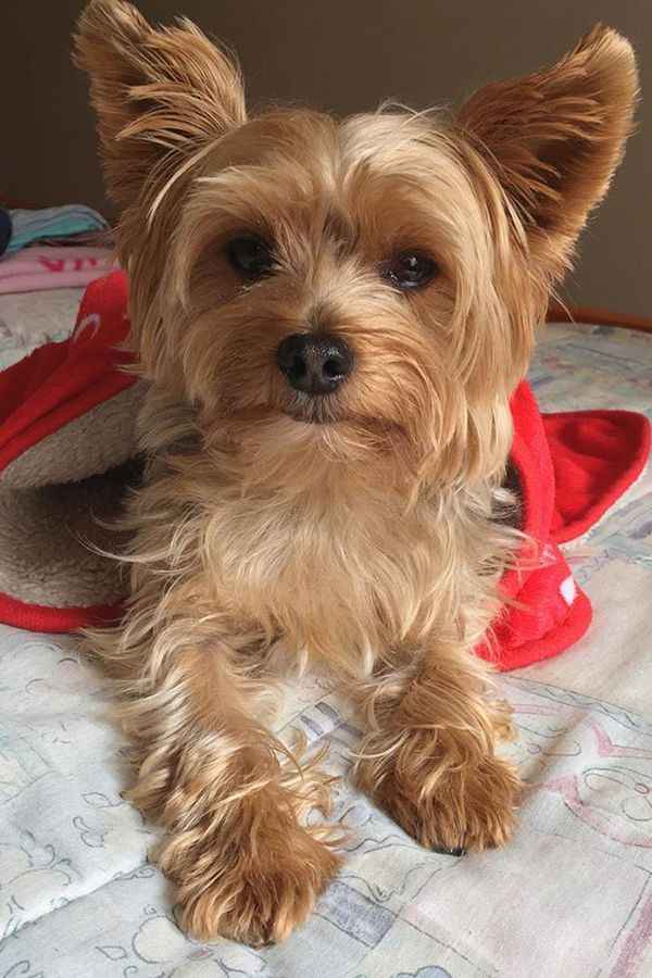 Top 15 Cutest Yorkshire Terriers Make You Go Mad After Seeing Them