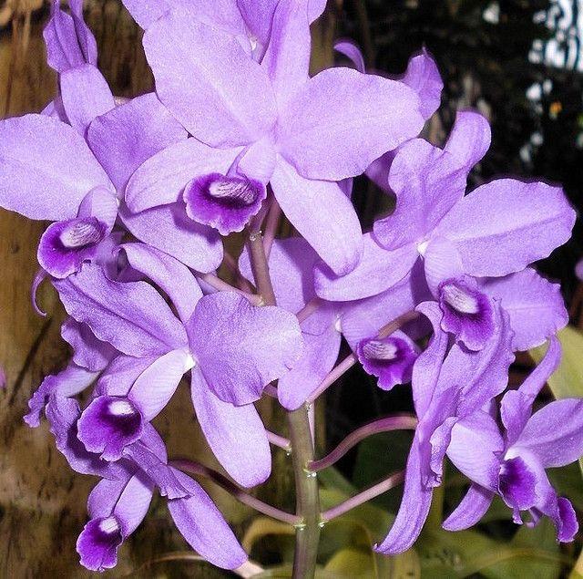 Light Purple Orchid Cattleya Beautiful Orchids Orchids Cattleya