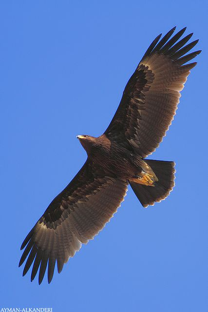 eagle power animals pinterest birds eagles and golden eagle