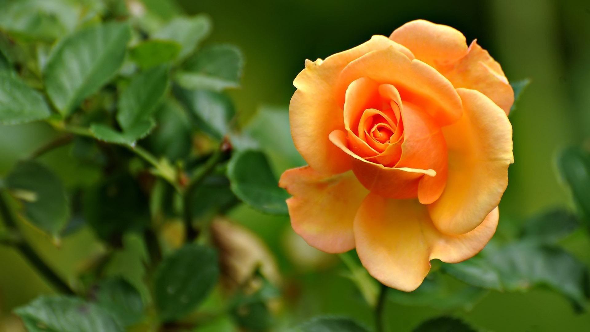 Hd wallpaper yellow rose - Rose Widescreen Yellow Roses Imagenes Hd