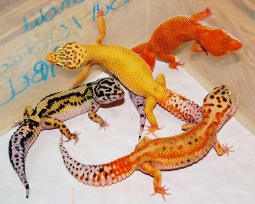 Leopard Gecko Morphs | reptilesandexotics:Leopard Gecko Morphs.How.