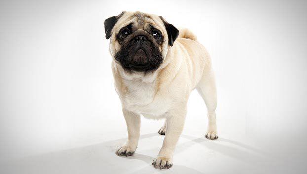 Pug Dog Breed Selector Dog Breed Selector Dogs 101 Dog Breeds