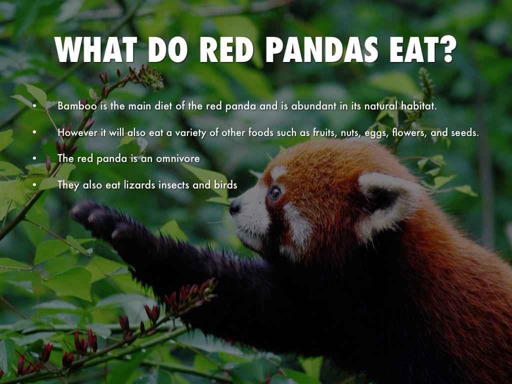 Red Panda Facts Red Pandas Pinterest Panda Facts