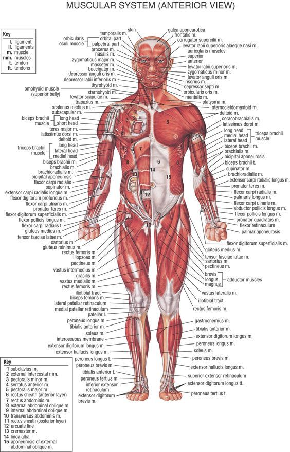 muscles chart: helpful to let me see which muscles are hurting when ...