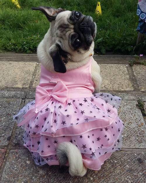 Pug Wearing A Pink Dress Baby Pugs Cute Pugs Pugs In Costume