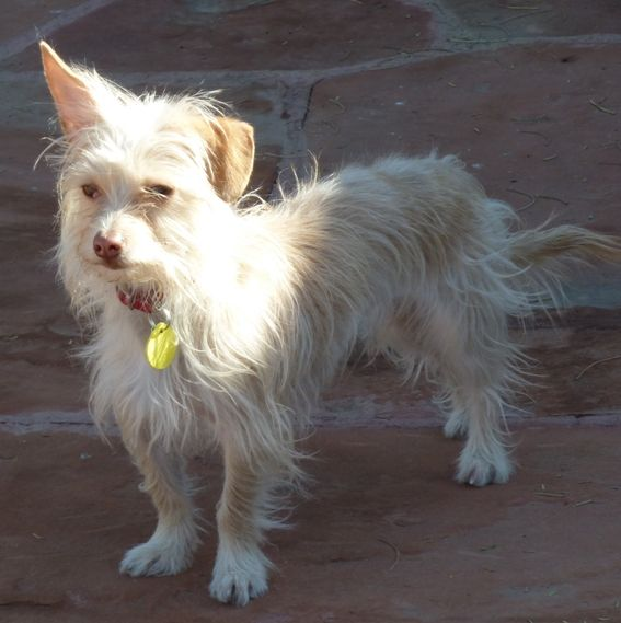 chinese crested terrier cairn terrier chinese crested mix animals dogs and 7149