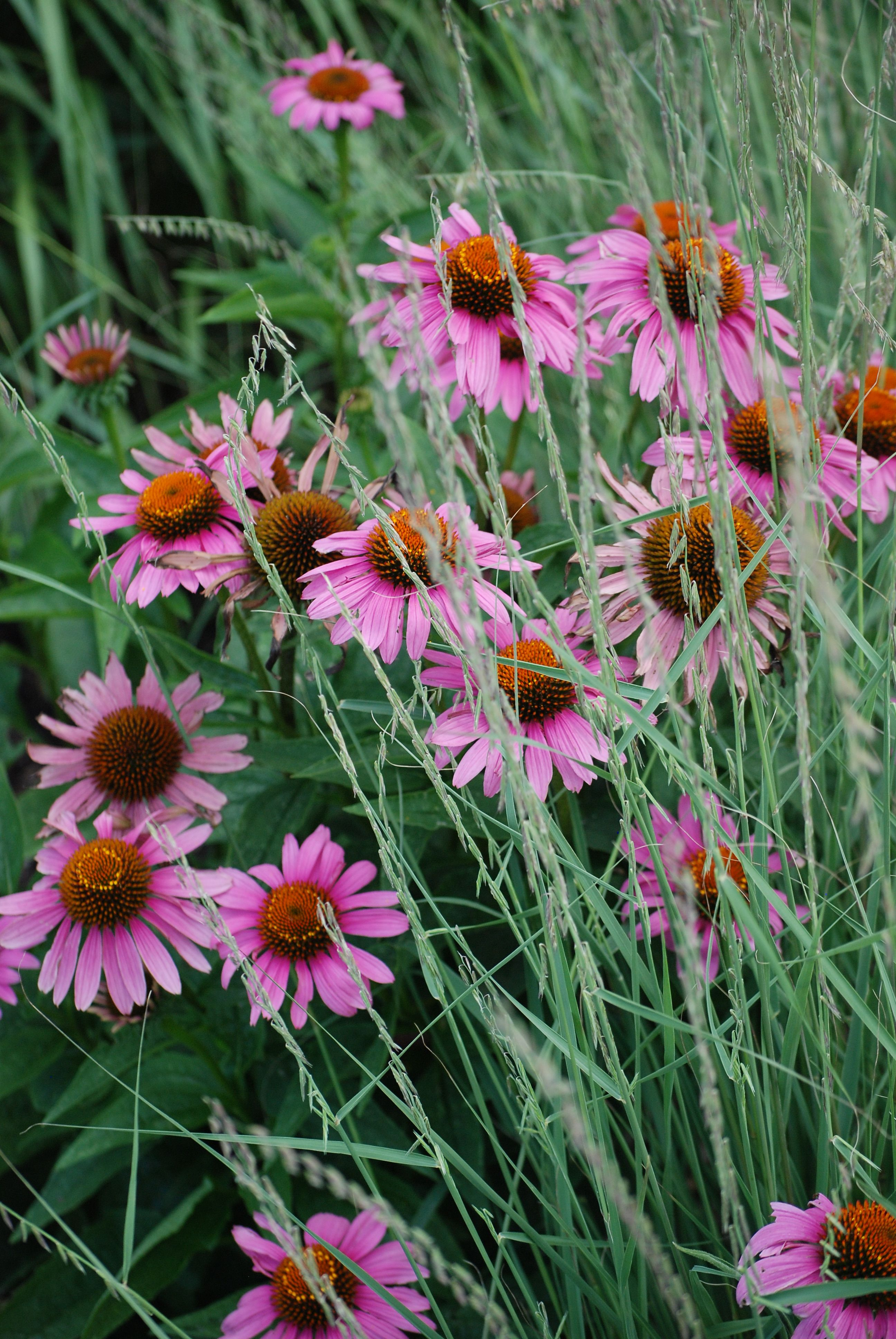 Purple Coneflower We Have Labeled Our Native Plants With Names Botanicals And Photos So That Visitors Can Learn About Beautiful Flowers Plants Native Plants