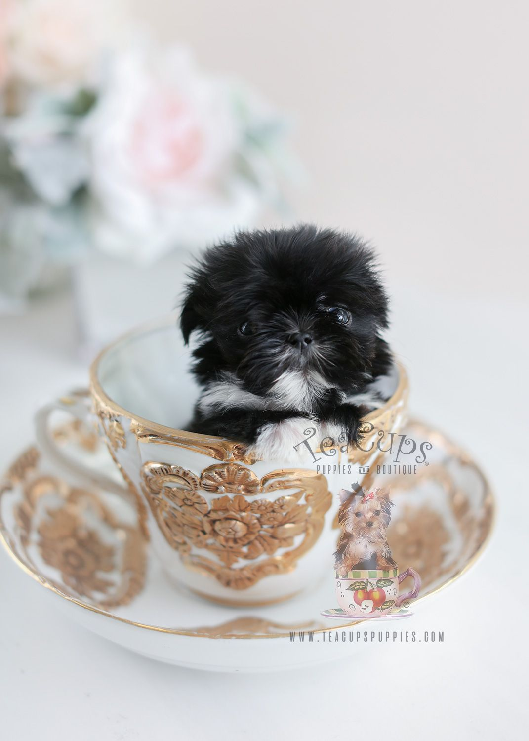 Tiny Imperial Shih Tzu By Teacup Puppies Boutique Shihtzu Imperialshihtzu Teacuppuppy Teacuppuppies Teacup Puppies Shih Tzu Puppy Puppies For Sale