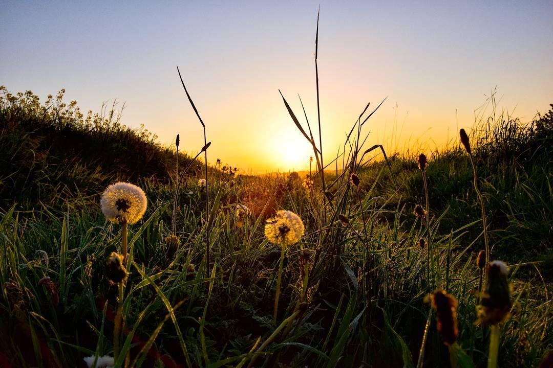 Pusteblumen im Sonnenaufgang - etwas schöneres gibt es nicht oder?  #haamitlandarzgebirg #erzgebirge #haamit #arzgebirg #haamitland #arzgebirgwiebistduschie #sonnenaufgang  #photography_weitblick #heimat #picture #heimatlanderzgebirge #natur #landschaft #heimatliebe #nature #landscape #photography #photo #photographie #photographer #landschaftsfotografie #fotografieren #like4like #fotografierenmitleidenschaft by photography_weitblick
