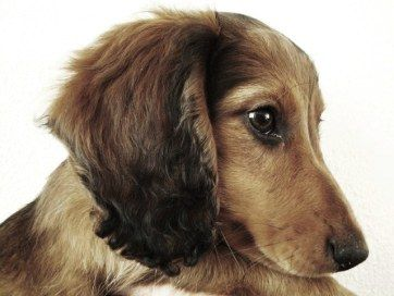 sweet little dachshund puppy