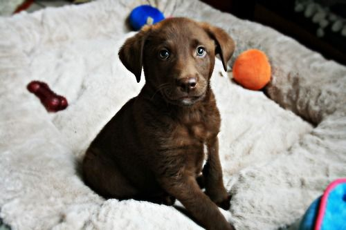Documents Expose Chocolate Lab S Alleged Double With Images Lab Mix Puppies Lab Puppies Cute Animals