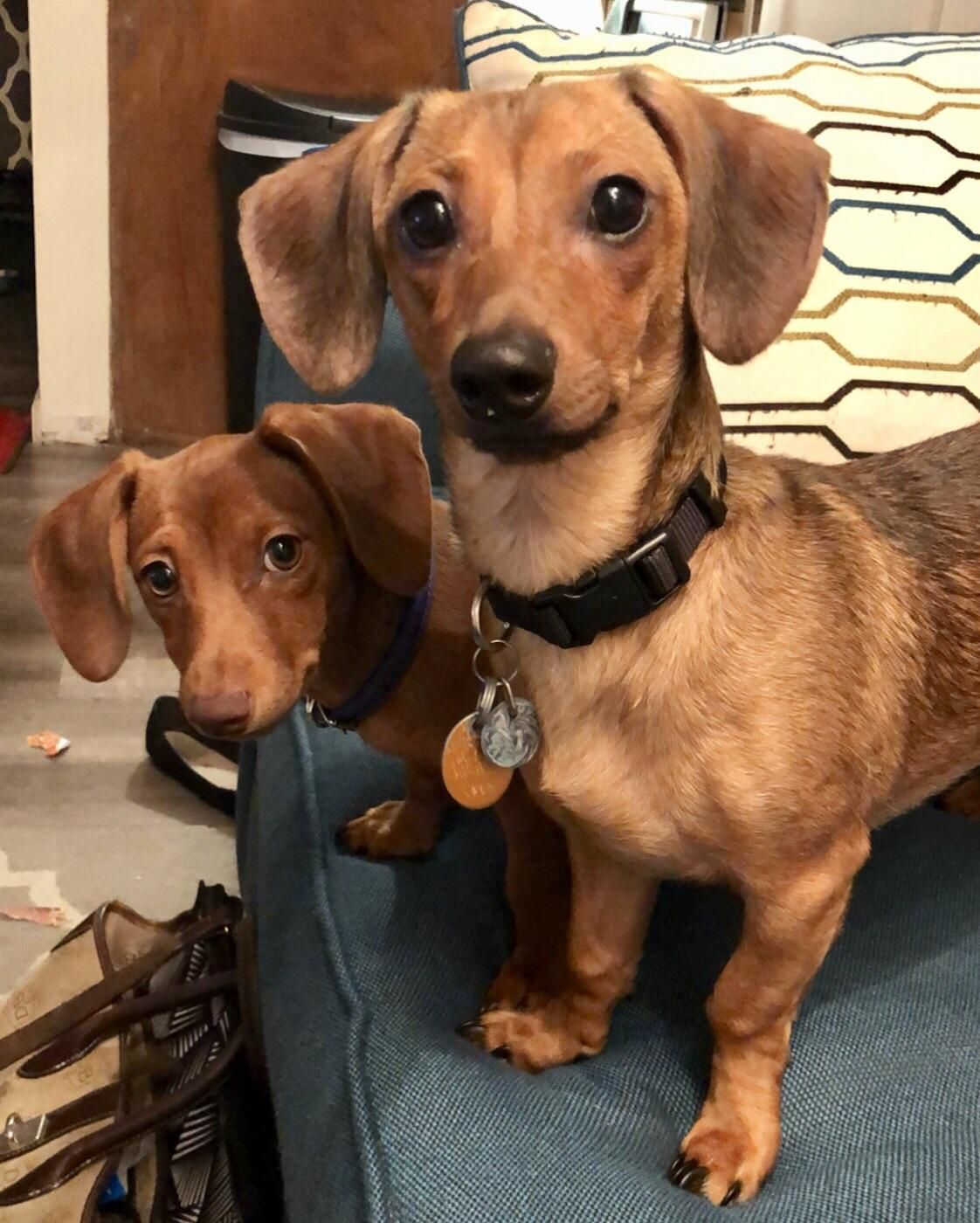 Us Tear Up Cardboard All Over The Floor Never Please Donate Us Hello There Bright People Are You Doglover Or Have You Dog Lovers Dachshund Cute Animals