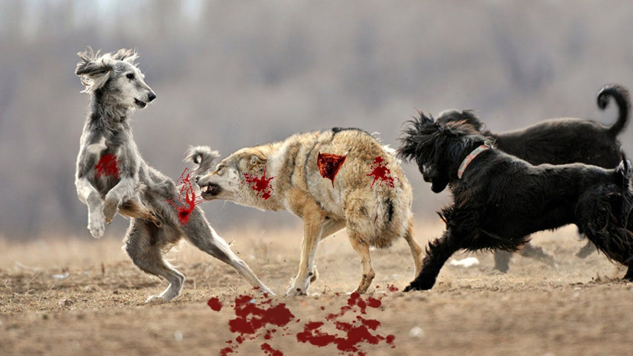 Wolf Hunt Dog - Wild Nature|Wolf Size Vs Dog|Wild Wolf Vs Dog ...